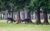 Обои: лес, олени, деревья, игра