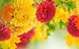 Обои: георгин, бутоны, желтый, красный, листья, лепестки