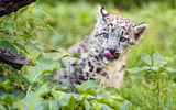 Обои: снежный барс, кошка, язык, детёныш, котёнок, ирбис, ©Tambako The Jaguar, трава