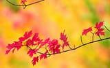 Обои: листья, клен, ветка, природа, осень