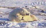 Обои: белые медведи, Арктика, polar bears