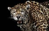 Обои: ягуар, кошка, хищник