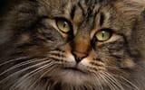 Обои: кот, глаза, взгляд