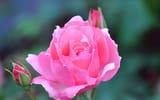 Обои: роза, цветок, бутон