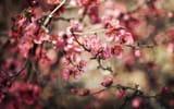 Обои: цветы, размытость, цветение, растение, bokeh, боке, природа, ветви