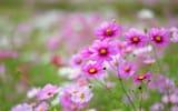 Обои: Космея, поле, макро, розовые, размытость, цветы, лепестки, белые