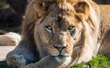 Обои для рабочего стола: взгляд, лапы, морда, отдых, хищная кошка, лев