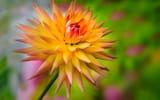 Обои: цветок, георгин, капля, желто-оранжевый, росинка