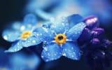 Обои: Незабудки, голубые, капли, лепестки, макро, цветы
