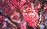 Обои: сакура, цветение, вишня, ветки, цветки, макро, боке