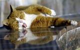 Обои для рабочего стола: лежит, котэ, кошка, кот, язык