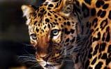 Обои для рабочего стола: арт, carl brenders, леопард, хищник