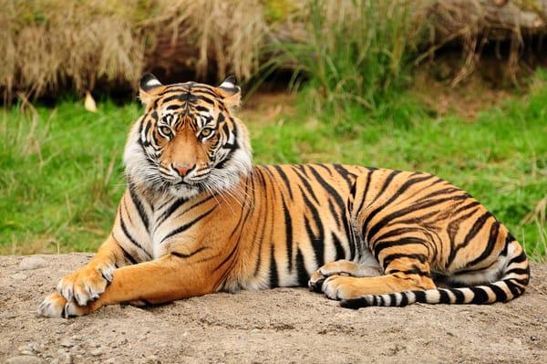 картинки на рабочий стол тигры № 512091 загрузить