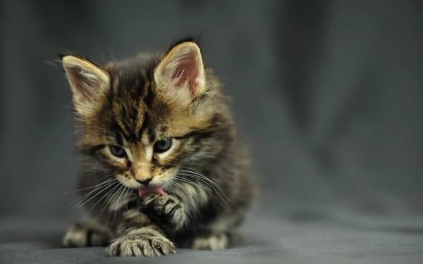 Обои кот, котенок, мейн-кун
